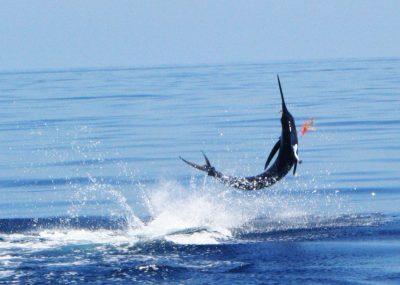 Blue Pacific - Marlin